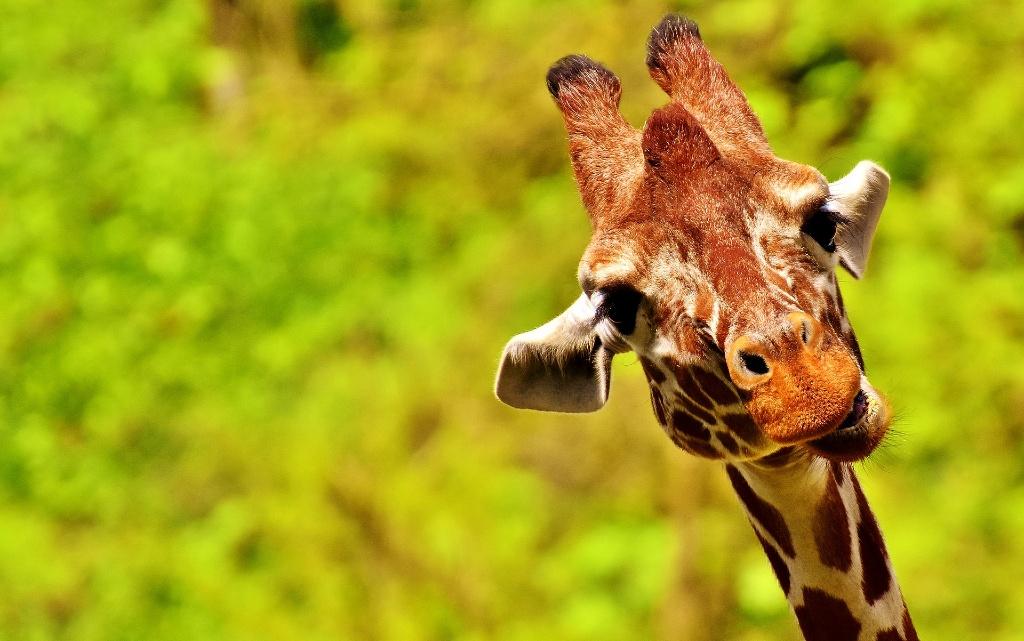 10 факта за жирафите, които вероятно не знаете