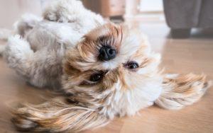 10 породи кучета, подходящи за хора с алергии